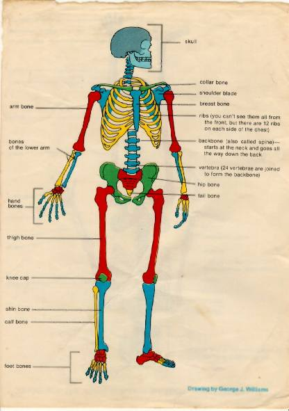Skeleton with Common Names for Bones
