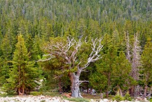 Bristlecone Pine by Ann Zeise. Copyrighted. Parts of a tree that doesn't entirely die! Parts live on.