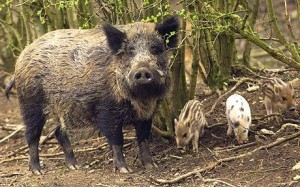 Wild pig and babies